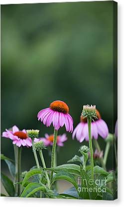 Coneflower Canvas Print by Kay Pickens