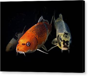 Confrontation Of 3 Koi Canvas Print by Jean Noren