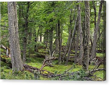 Conifer Forest In The Martial Mountains Canvas Print by Ashley Cooper