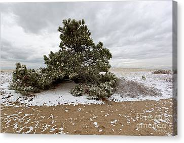 Conifer On A Snowy Cape Cod Beach Canvas Print by Michelle Wiarda