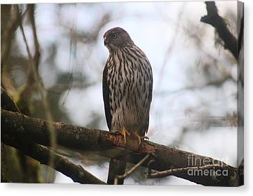 Cooper's  Hawk Dines Here Canvas Print by Kym Backland