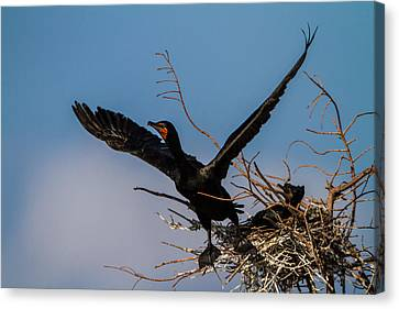 Cormorant Parent Flying Out Canvas Print by Andres Leon