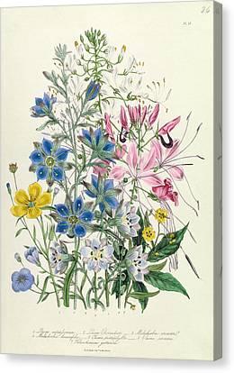 Cornflower Canvas Print by Jane Loudon