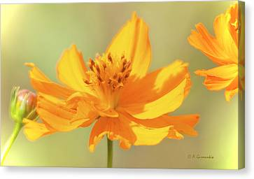 Canvas Print featuring the photograph Cosmos Flowers by A Gurmankin