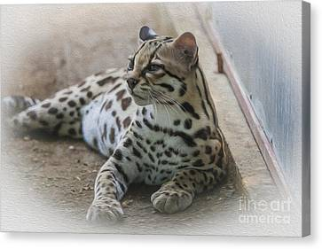 Costa Rican Margay Cat  Canvas Print by Patricia Hofmeester
