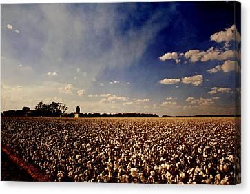 Cotton Field Canvas Print by Scott Pellegrin