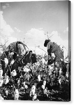 Cotton Picking Canvas Print by Granger