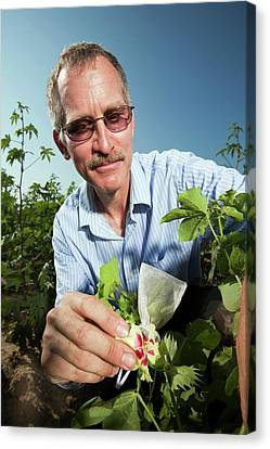 Cotton Pollination Research Canvas Print by Stephen Ausmus/us Department Of Agriculture