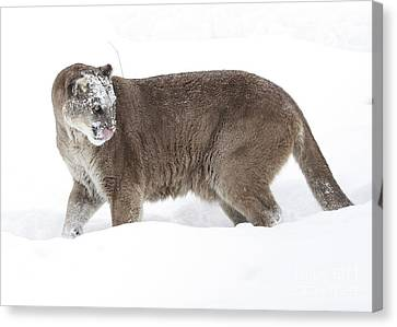 Cougar On A Winter Prowl Canvas Print by Inspired Nature Photography Fine Art Photography