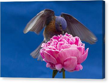 Count Bluebird Canvas Print by Jean Noren