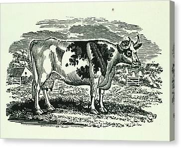 Cow Canvas Print by British Library
