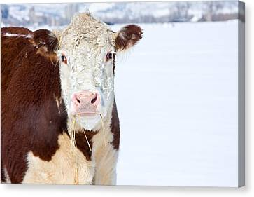 Cow - Fine Art Photography Print Canvas Print by James BO  Insogna