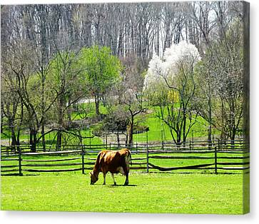 Cow Grazing In Pasture In Spring Canvas Print by Susan Savad
