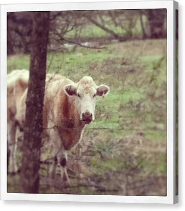 Cow Canvas Print by Kristin Smith