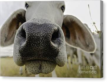 Cow Nose Canvas Print by Cindy Bryant