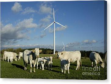 Cows And Windturbines Canvas Print by Bernard Jaubert