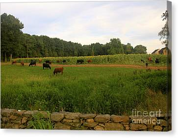 Cows At Buttonwood Canvas Print by Dorothy Drobney