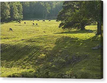 Cows Grazing On Grass In Rockport  Maine Canvas Print by Keith Webber Jr