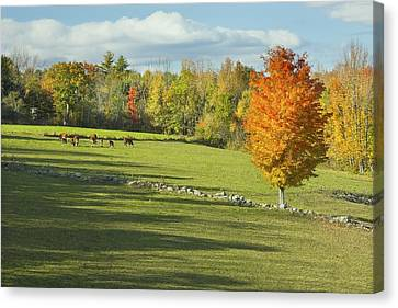 Cows Grazing On Maine Farm Field In Fall  Canvas Print by Keith Webber Jr