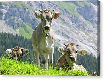 Cows In An Alpine Pasture Canvas Print by Ashley Cooper