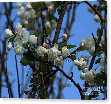 Crab Apple Blossoms 2013 Canvas Print by Marjorie Imbeau