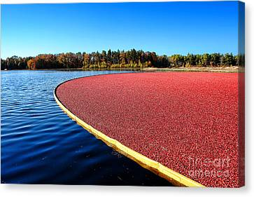 Cranberry Harvest In New Jersey Canvas Print by Olivier Le Queinec