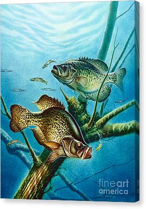 Crappie And Root Canvas Print by Jon Q Wright