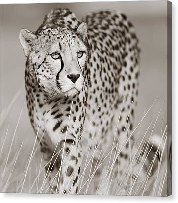 Creeping Cheetah Canvas Print by Regina Mueller