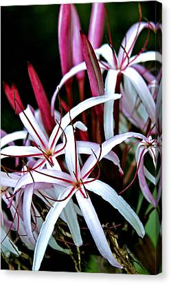 Crinum Asiaticum Spider Lily Hawaii Canvas Print by Karon Melillo DeVega
