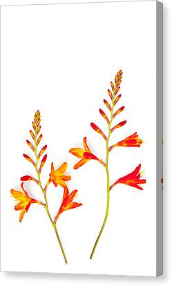 Crocosmia On White Canvas Print by Carol Leigh