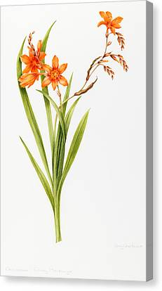 Crocosmia Canvas Print by Sally Crosthwaite