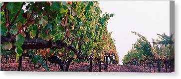 Crops In A Vineyard, Sonoma County Canvas Print by Panoramic Images