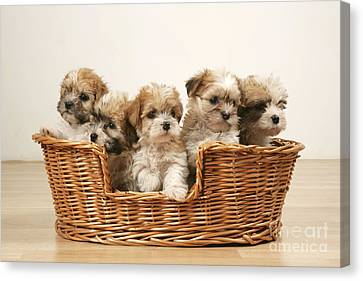 Cross Breed Puppies, Five In Basket Canvas Print by John Daniels