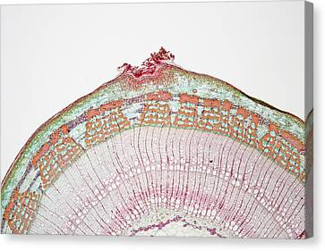 Cross-section Of Basswood Or Linden Canvas Print by Science Stock Photography
