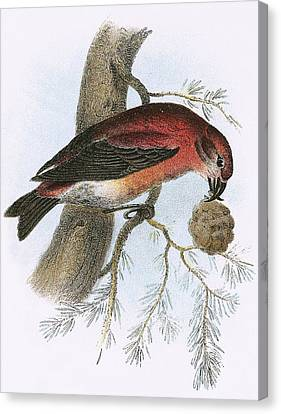 Crossbill Canvas Print by English School