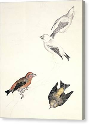 Crossbills, 19th Century Artwork Canvas Print by Science Photo Library