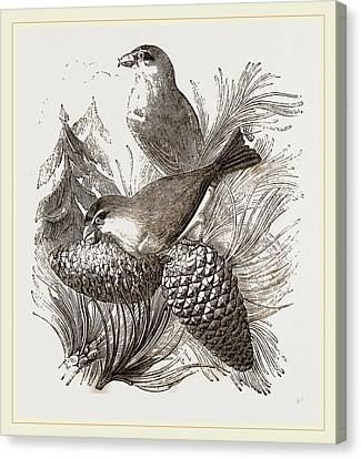 Crossbills Canvas Print by Litz Collection