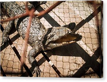 Crossbred Crocodile Canvas Print by Paul Williams