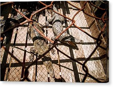 Crossbred Crocodiles Canvas Print by Paul Williams