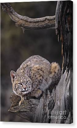 Crouching Bobcat Montana Wildlife Canvas Print by Dave Welling