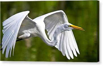 Cruising Egret Canvas Print by Andres Leon