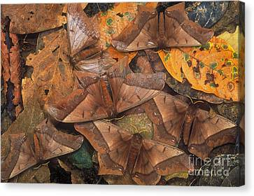 Cryptic Leaf Moths Blending Canvas Print by Art Wolfe