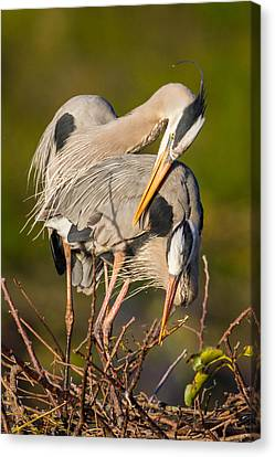 Cuddling Great Blue Herons Canvas Print by Andres Leon