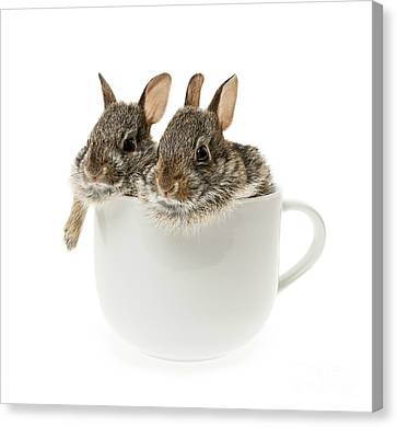 Cup Of Bunnies Canvas Print by Elena Elisseeva