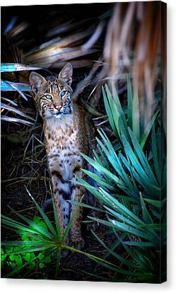 Curious Bobcat Canvas Print by Mark Andrew Thomas