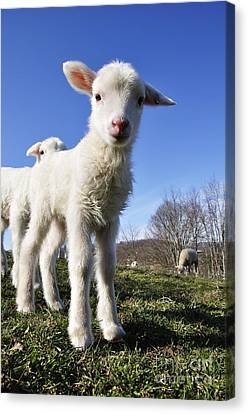 Curious Day Old Lambs Canvas Print by Thomas R Fletcher
