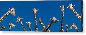 Curious Giraffes Concept Kenya Africa Canvas Print by Panoramic Images