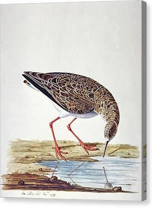 Curlew Sandpiper Canvas Print by Charles Collins