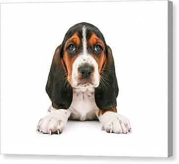 Cute Basset Hound Puppy Looking Forward Canvas Print by Susan  Schmitz