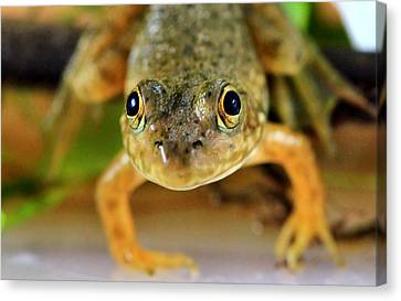Cute Frog Face Canvas Print by Dan Sproul